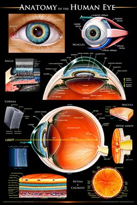 Anatomy of the Human Eye Wall Chart - #ewc103