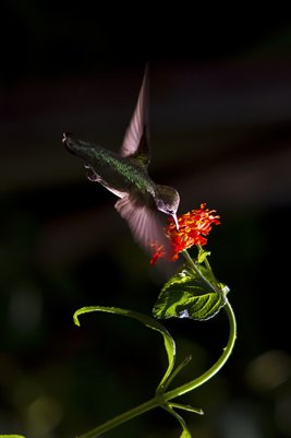 Enlargement Hummingbird at Flower