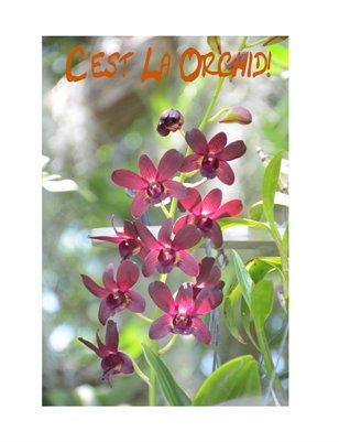 C'est La Orchid