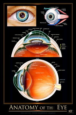 Anatomy of the Eye Wall Chart - #ewc105