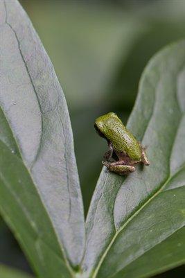 baby treefrog1