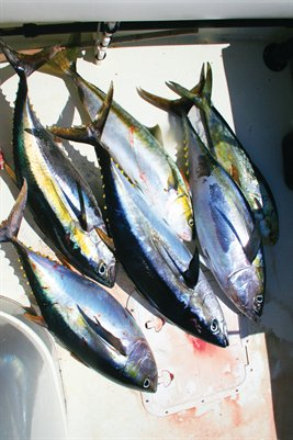 Yellowfin Tuna and Yellowtail