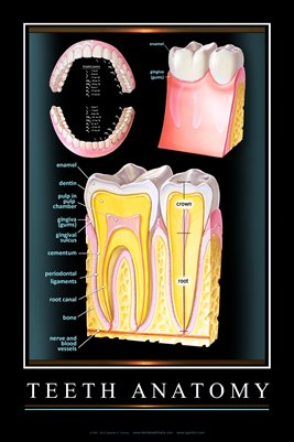 """TEETH ANATOMY"" - (black) Dental Wall Chart DWC103"