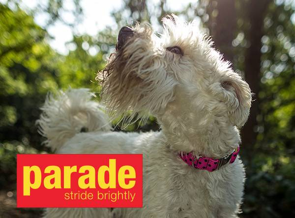 Parade Dog Collars
