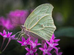 Green butterfly on small pink flowers