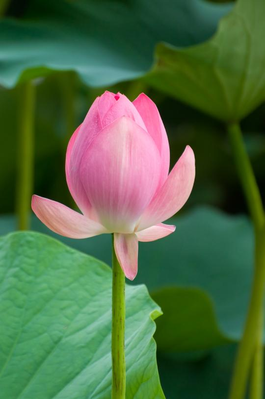 a pink lotus flower represents calm and serenity at All In Acupuncture