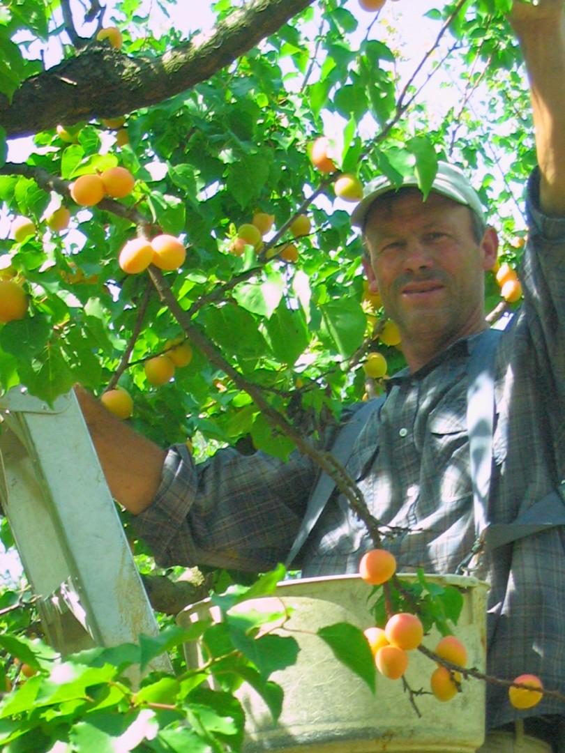 Good Humus apricots, Johanna Utter
