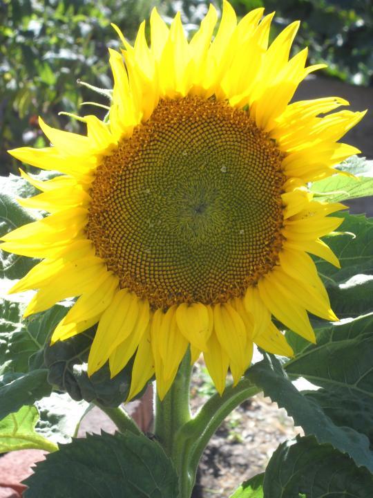 Davis Sunflower, Susan Miller