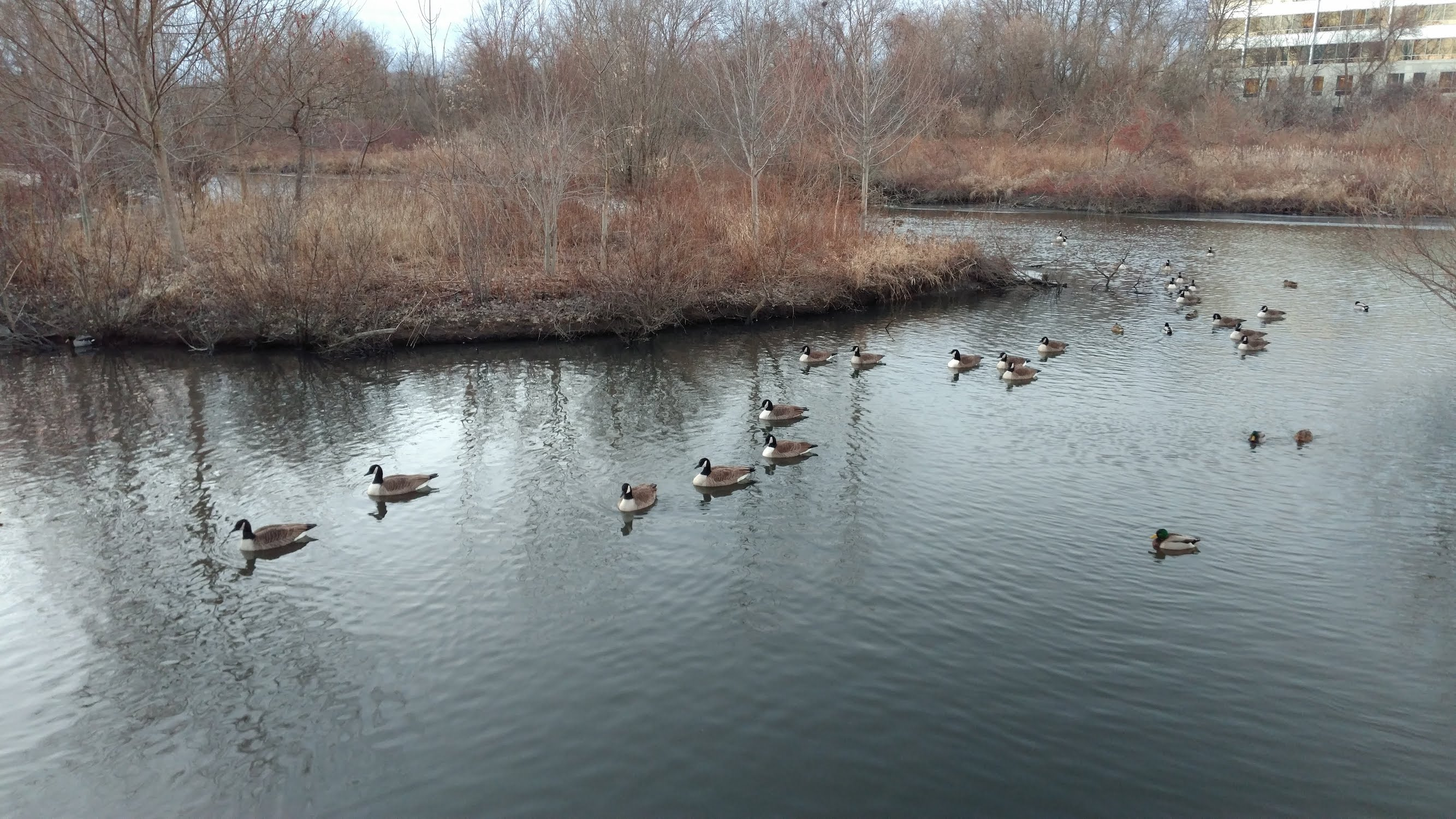 many geese, some ducks