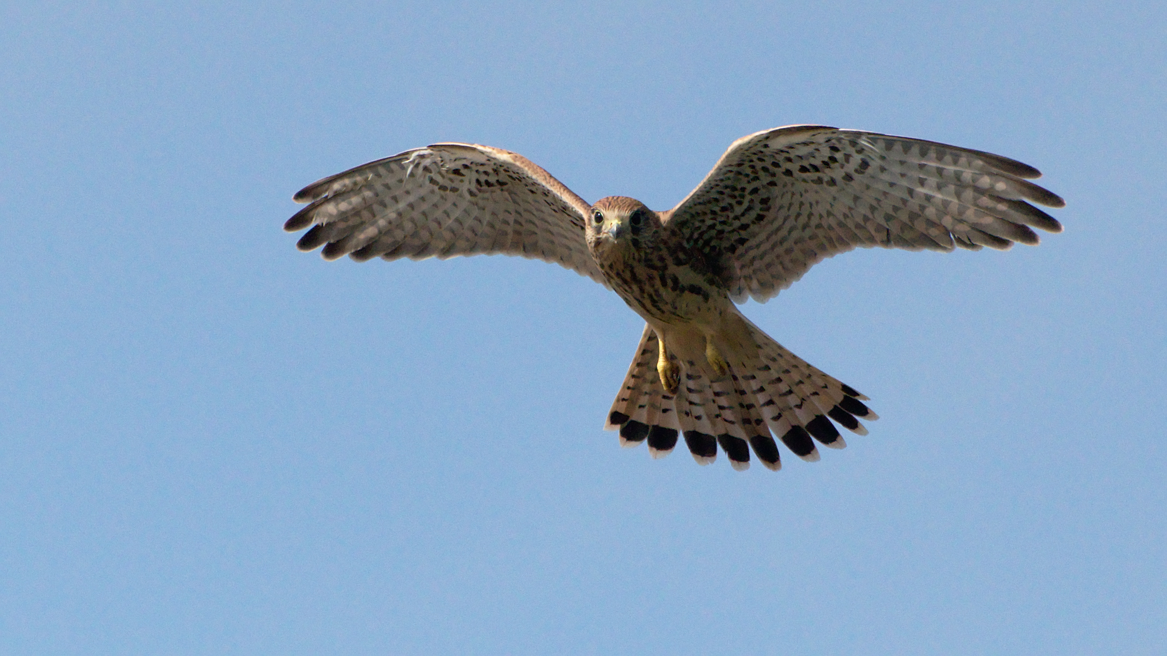 Kestrel head-on with wings spread and tail fanned