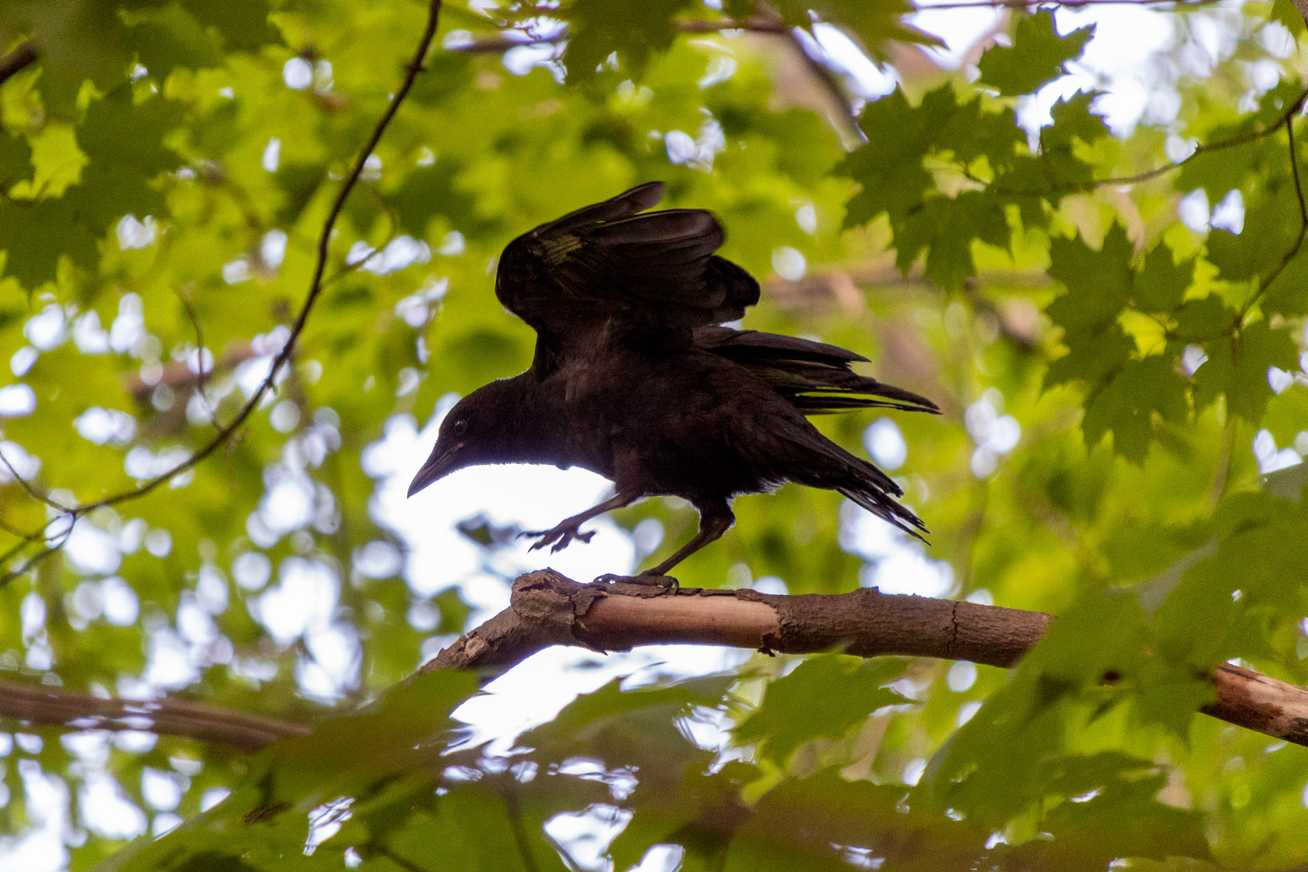 Crow walking on a tree branch