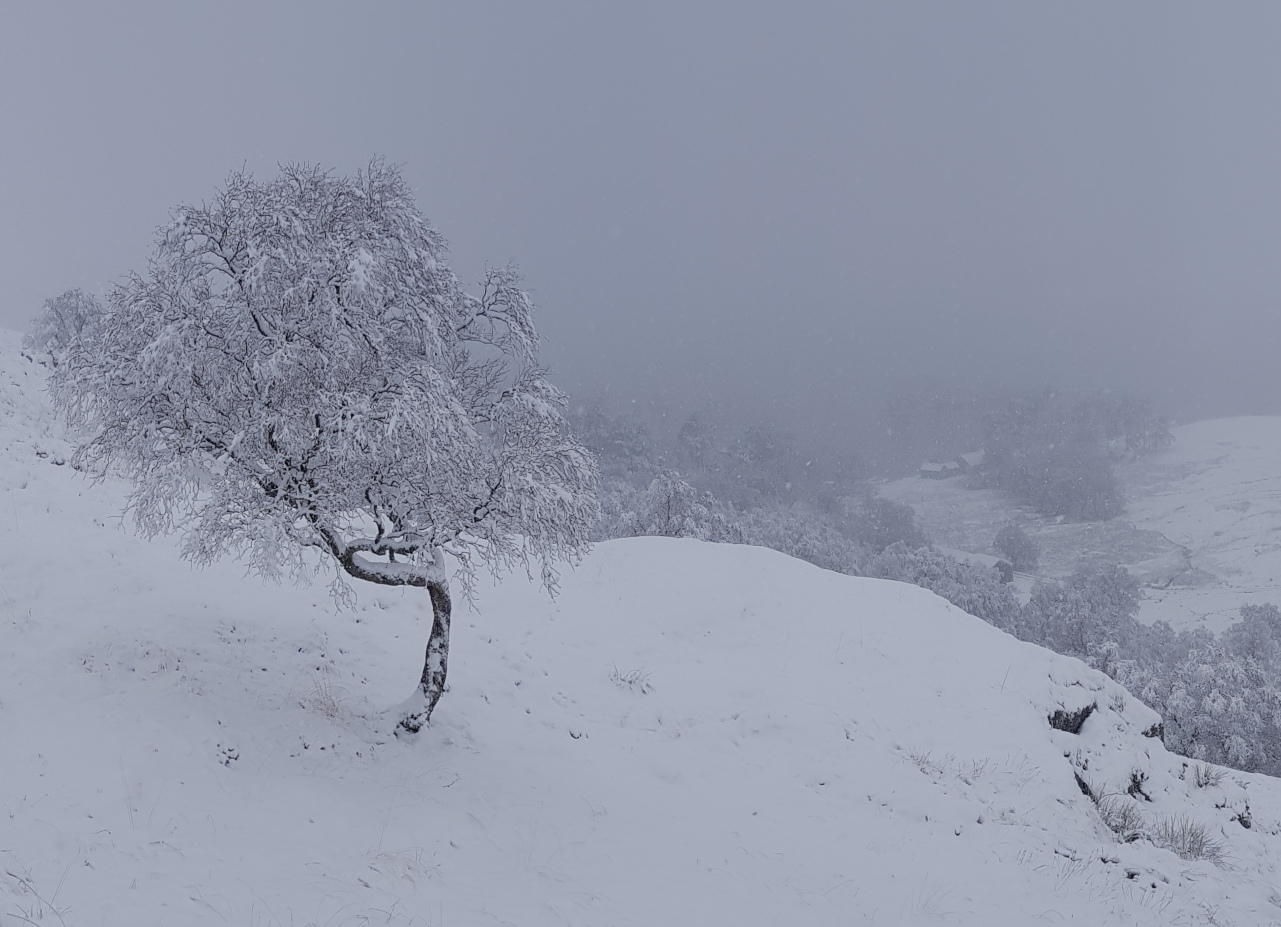 Snow-covered valley with trees and a few buildings. Twisted tree in foreground.