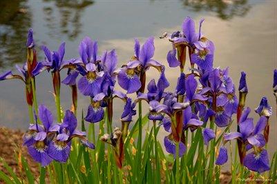 Iris Pondside Special Edition