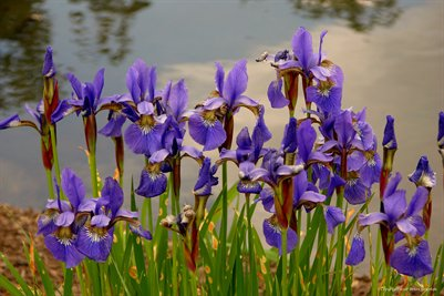 Iris Pondside Fine Art Poster