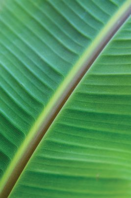 Banana Leaf Double Sided