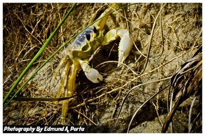 Gost Crab