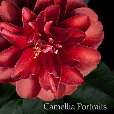 Camellia Portraits