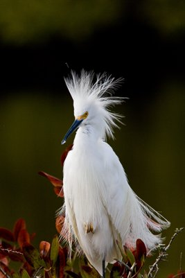 Bad Hair Egret