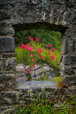 Wild Irish Roses in County Galway, Ireland, Irish Art Poster