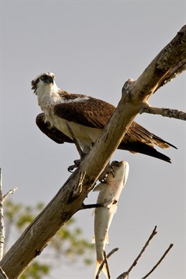 Osprey with Dinner 2