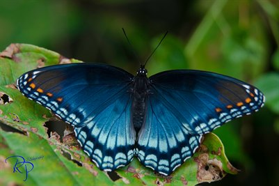 Blue Butterfly - Limenitis arthemis astyanax