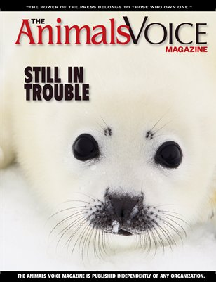 Still in Trouble: Canada's Harp Seal