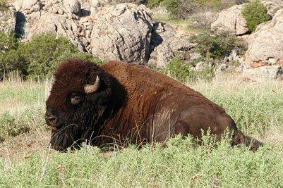 Wichita Wildlife Refuge Bison