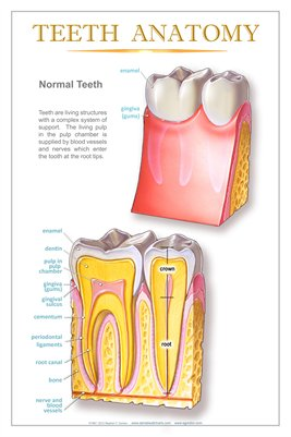"""TEETH ANATOMY"" - (white) Dental Wall Chart DWC102"