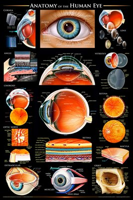 Anatomy of the Human Eye Wall Chart - #ewc102