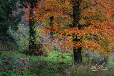 """Autumn Tree in Clondegad Wood"" (POSTER)"