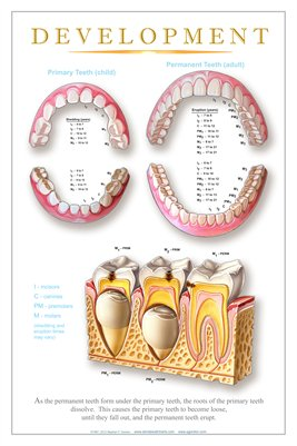 """DEVELOPMENT"" - (white) Dental Wall Chart DWC202"
