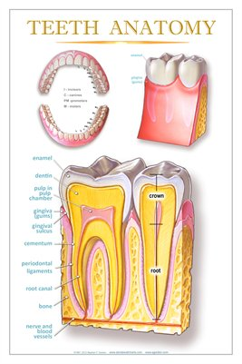 """TEETH ANATOMY"" - (white) Dental Wall Chart DWC104"