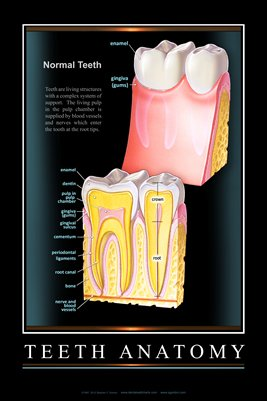 """TEETH ANATOMY"" - (black) Dental Wall Chart DWC101"