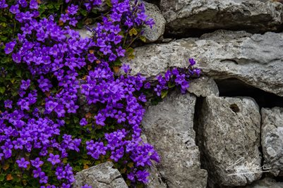 Purple Flowers on Stone Wall, Irish Poster Print