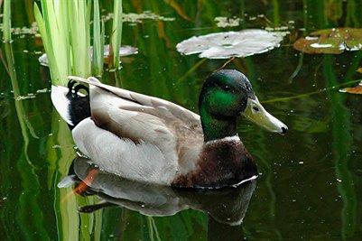 Lake Helen Duck
