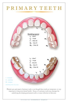 """PRIMARY TEETH"" - (white) Dental Wall Chart DWC302"