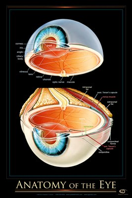 Anatomy of the Human Eye Wall Chart - #ewc106