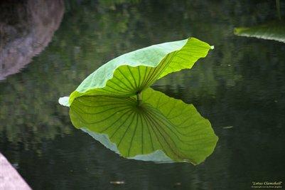 Lotus Clamshell Fine Art Poster