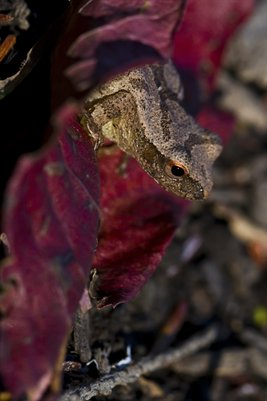 Enlargement - Peeper on a leaf