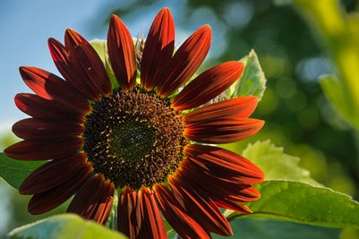 Red Sunflower 2