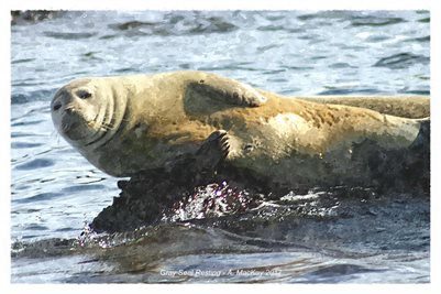 Harbour Seal Resting