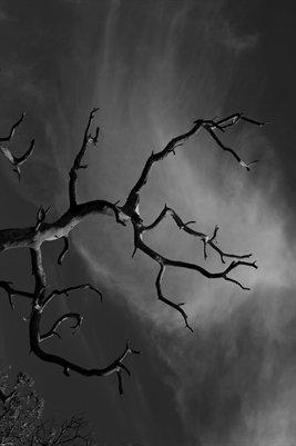 Black and White Chircahua Tree