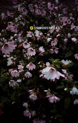 Stomoxys Nr.08 Z