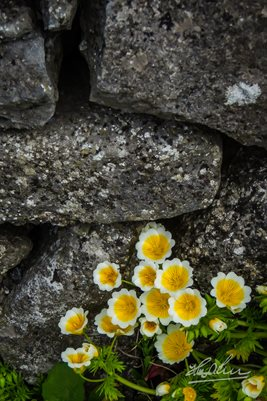 """Yellow Flowers on Irish Stone Wall"" Poster Print"