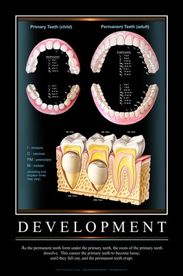 """DEVELOPMENT"" - (black) Dental Wall Chart DWC201"