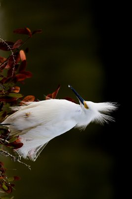 Bad hair egret 2