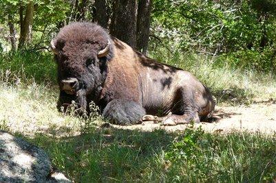 Sunning Bison