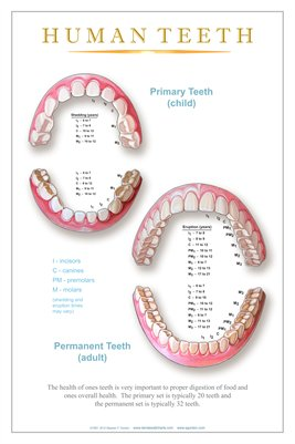 """HUMAN TEETH"" - (white) Dental Wall Chart DWC306"