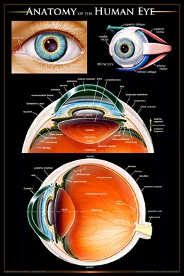 Anatomy of the Human Eye Wall Chart - #ewc104