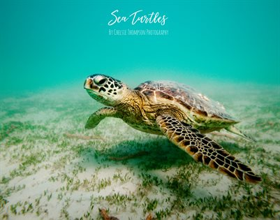 Sea Turtles By Chelsie Thompson Photography